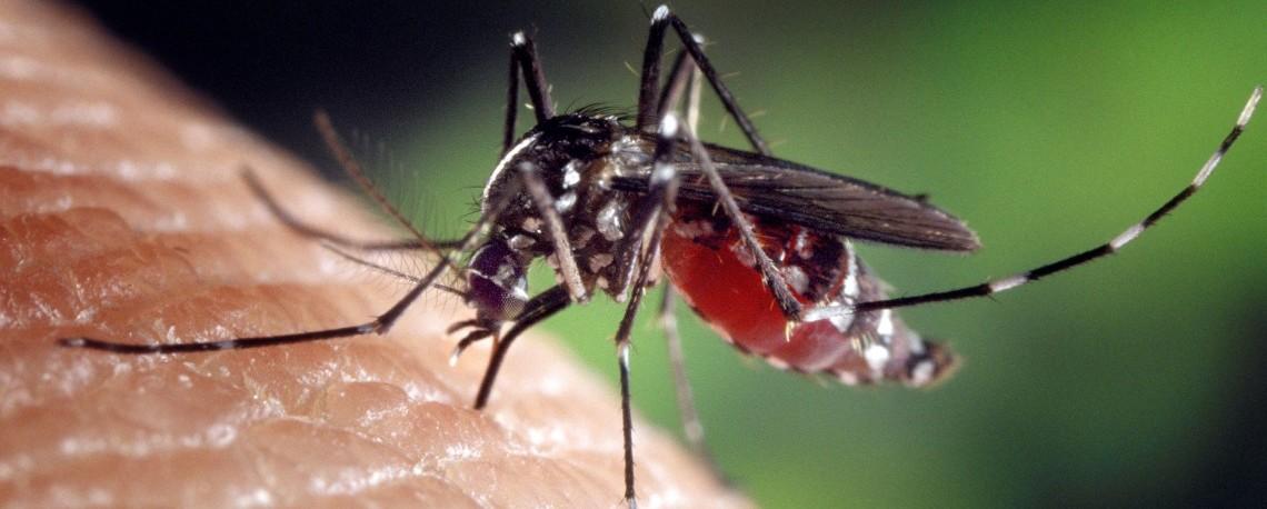 Aedes albopictus mosquito genus of the culicine family of mosqui