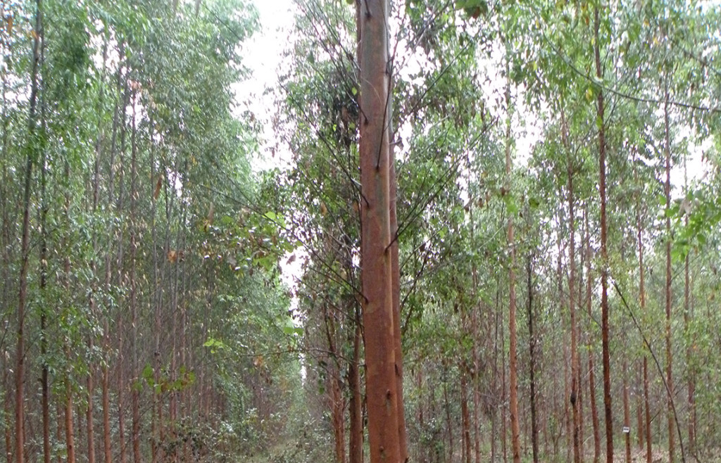Genetically engineered eucalyptus plantations threaten the entire ecosystem.